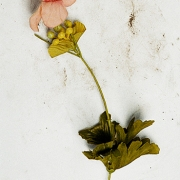 rose, pigment print using ultrachrome archival ink in innova, 103.2x62cm, 2003, edition of 12
